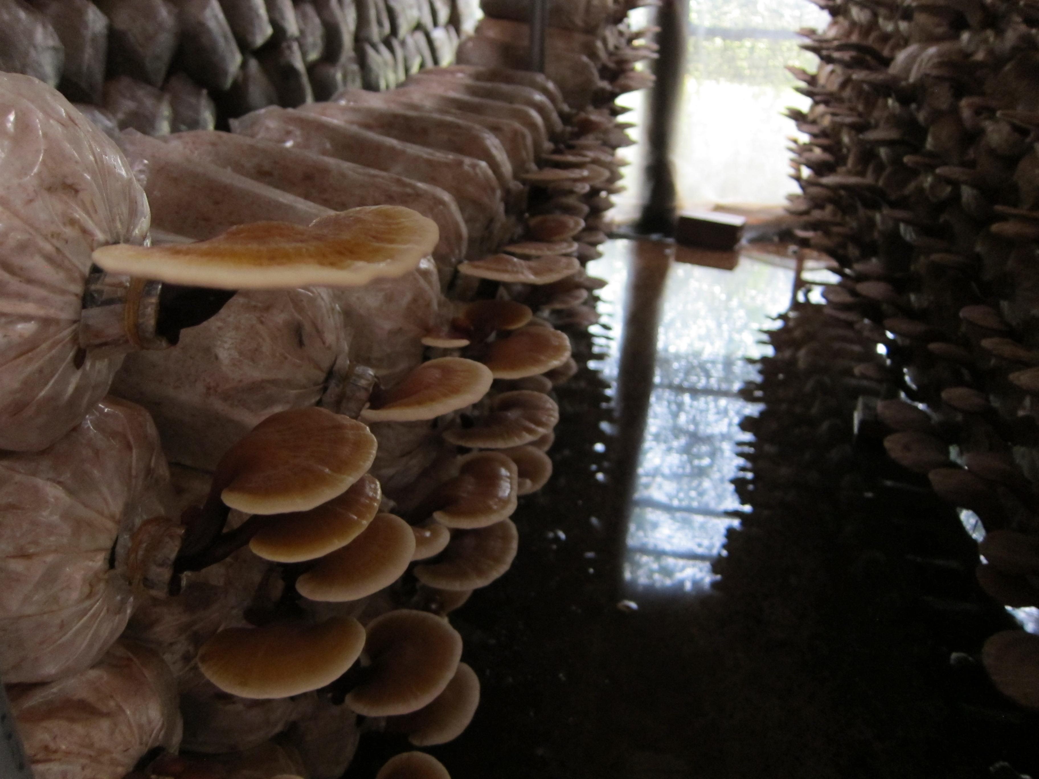 Nấm Linh chi Nhật Bản - Một sản phẩm của công trình NCKH cấp Truờng