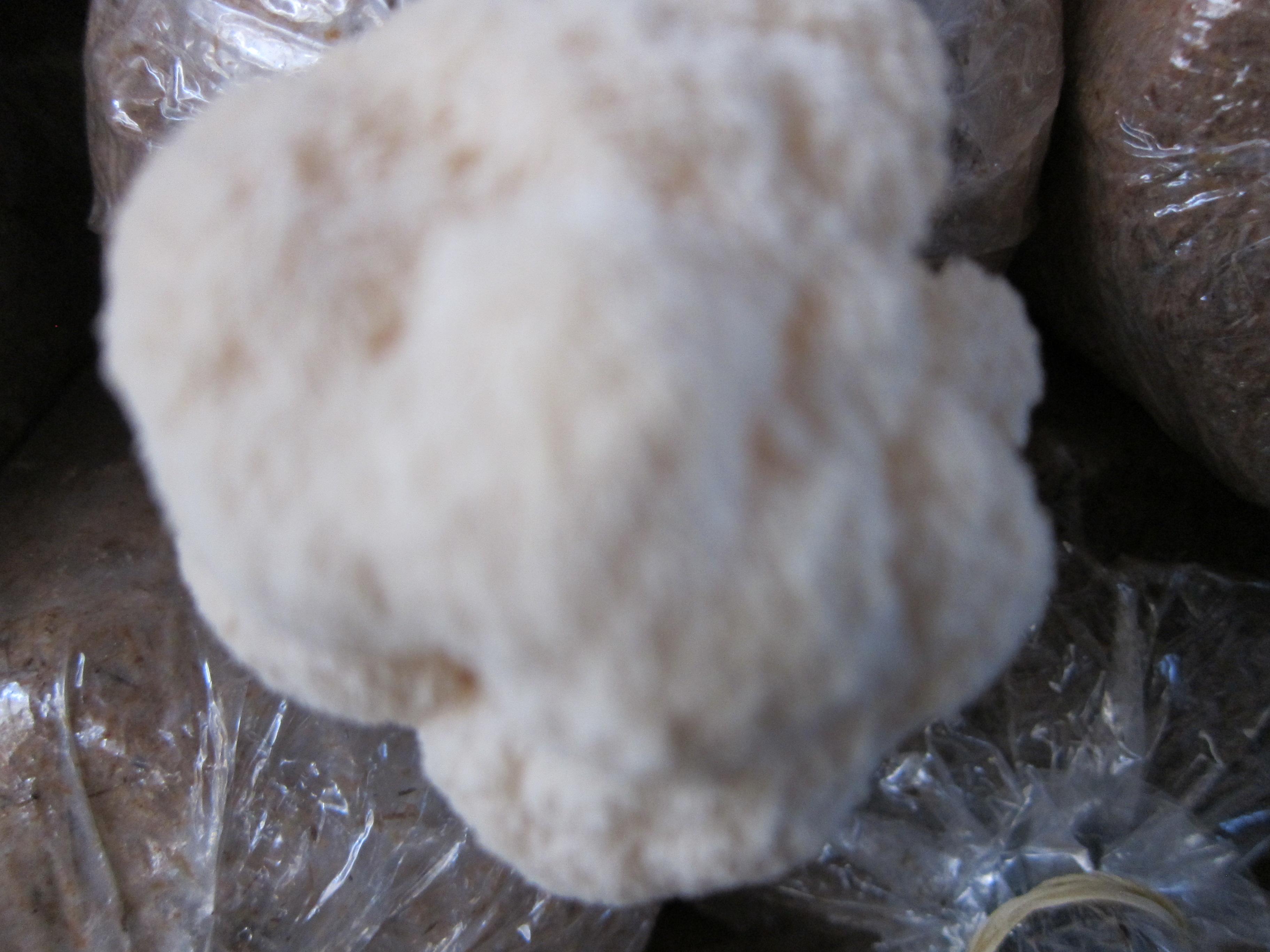 Nấm hầu thủ - Một sản phẩm của công trình NCKH cấp Truờng